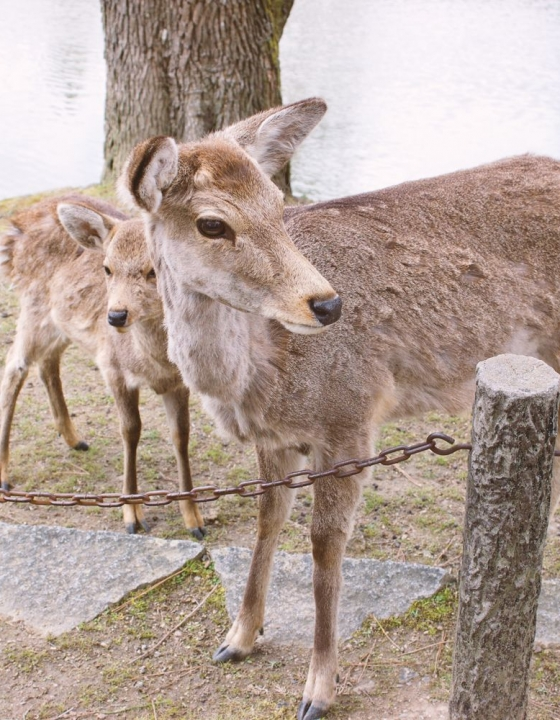 Todai-ji Temple and Butt-Biting Deer in Nara